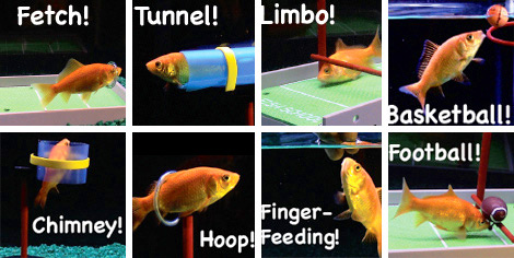 r2 fish training kit Fish School Training Kit turns your boring goldfish into an A student